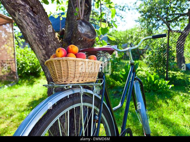 Korb mit saftigen Reifen Aprikosen auf Fahrrad im Garten Stockbild