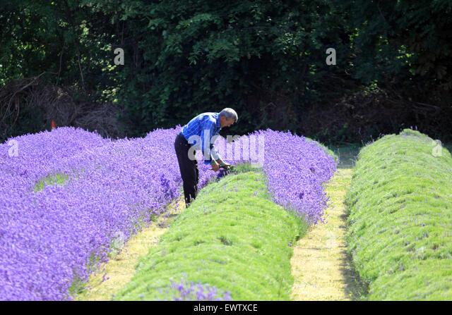 Ernten die Ernte zum Mayfield Lavendel, Croydon Lane, Banstead, Surrey UK. Stockbild
