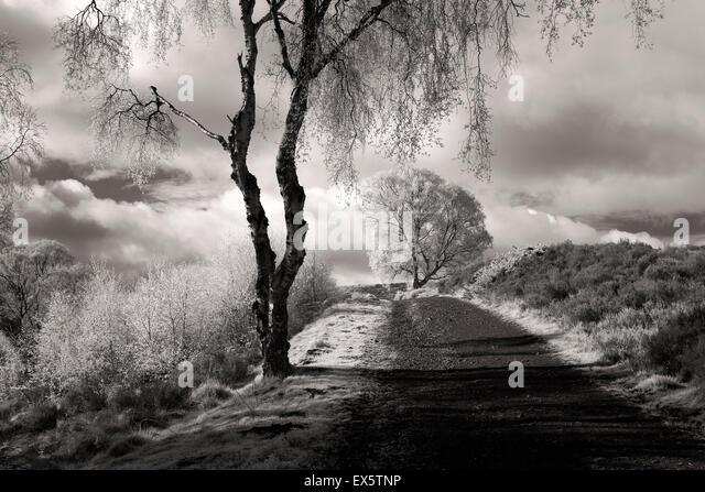 Schwarz / weiß Landschaft Foto von Silber Birken Weg Sherbrooke Tal im Frühjahr auf Cannock Chase AONB - Stock-Bilder