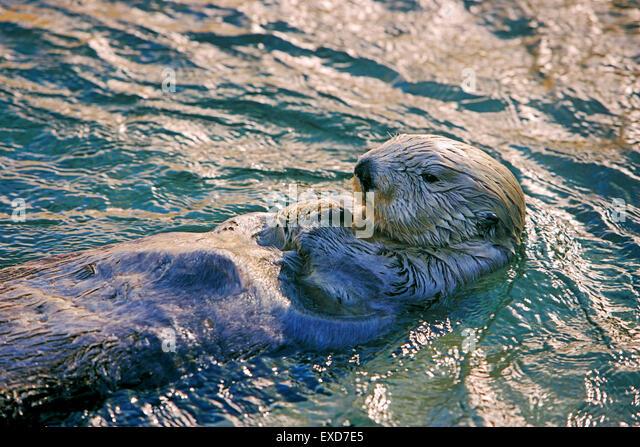 Sea Otter schwimmen auf dem Rücken, am Abend Sonnenlicht Stockbild