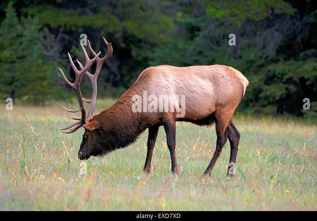 Wapiti Elk, große Stier Begrünung, Rocky Mountains, Kanada Stockbild