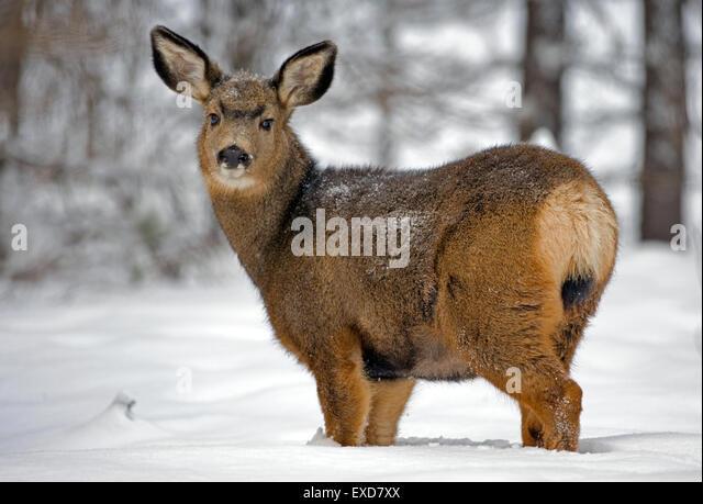 Mule Deer Doe im Wald im Tiefschnee Stockbild