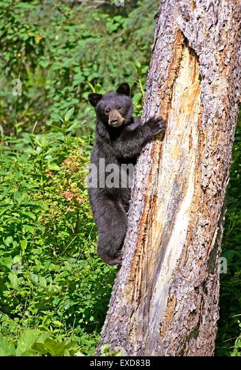 Black Bear Cub 8 Monate alt Klettern großen Fichte Stockbild