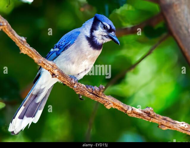 Blue Jay stehend auf Ast Stockbild