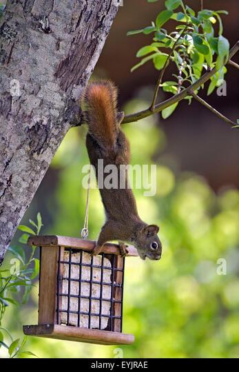 Eichhörnchen von Ast hängen von Vogelhäuschen Stockbild