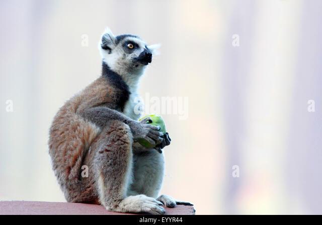 Katta (Lemur Catta), Fütterung von Obst, Madagaskar, Andringitra Nationalpark Stockbild