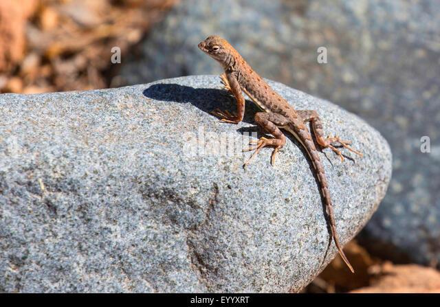 geringerem earless Lizard (Holbrookia Maculata), Sonnenbaden auf einem Stein, USA, Arizona, Boyce Thompson Arboretum Stockbild