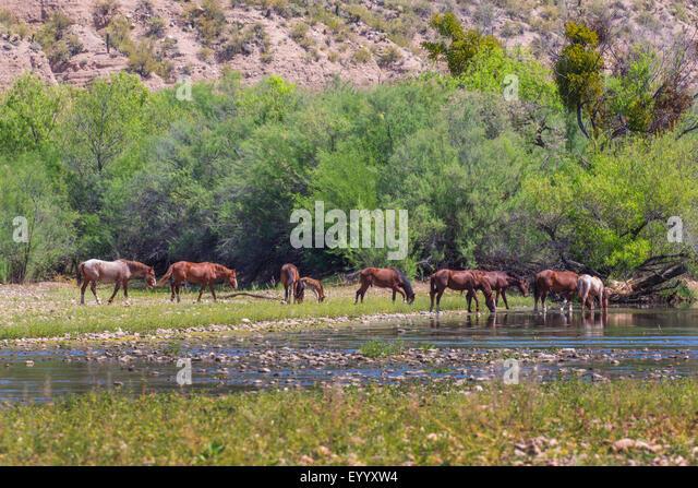 inländische Pferd (Equus Przewalskii F. Caballus), wilde Pferde weiden am Fluss Ufer und trinken, USA, Arizona, Stockbild
