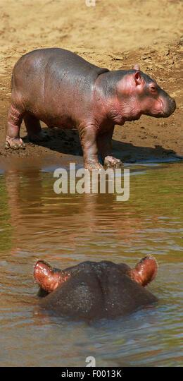 Nilpferd, Nilpferd, gemeinsame Flusspferd (Hippopotamus Amphibius), Erwachsene mit Welpen, Afrika Stockbild