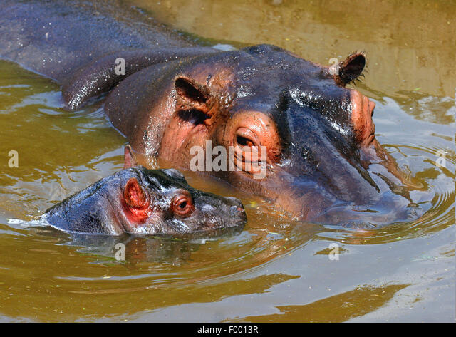 Nilpferd, Nilpferd, gemeinsame Flusspferd (Hippopotamus Amphibius), Erwachsene mit Welpen in Gewässer, Afrika Stockbild