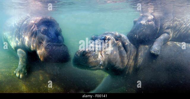 Nilpferd, Nilpferd, gemeinsame Flusspferd (Hippopotamus Amphibius), Flusspferde unter Wasser, Afrika Stockbild