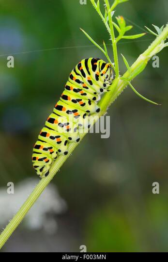 Schwalbenschwanz (Papilio Machaon), Raupe ernährt sich von Daucus Carota, Deutschland Stockbild