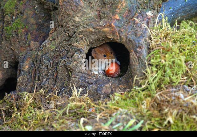 Red tree vole stockfotos red tree vole bilder alamy for Boden deutschland