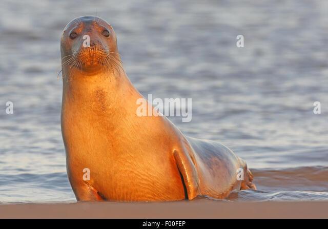 graue Dichtung (Halichoerus Grypus), neugierig zu versiegeln, am Strand, Vereinigtes Königreich Stockbild
