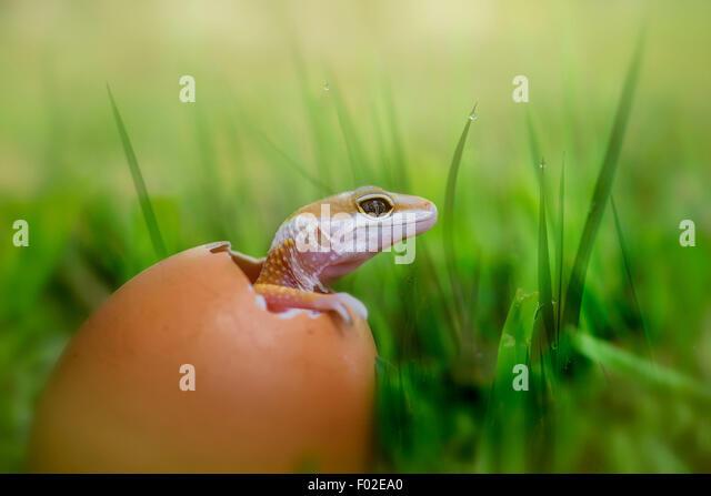 Baby Lizard schlüpft aus Ei Stockbild