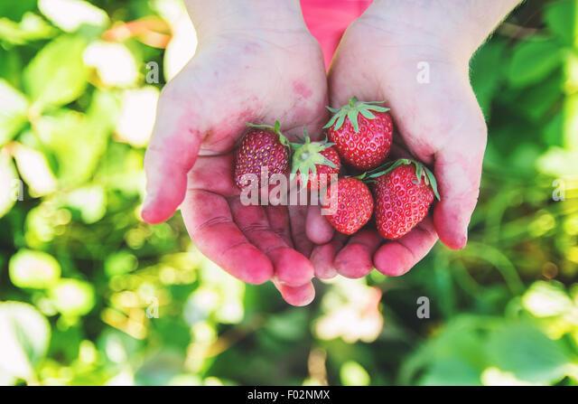 Nahaufnahme eines Kindes Hände halten Erdbeeren Stockbild