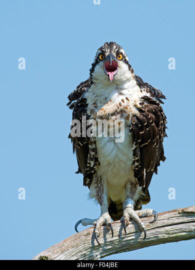 Juvenile Fischadler sitzt in einem Baum Mund offen Zunge heraus Stockbild