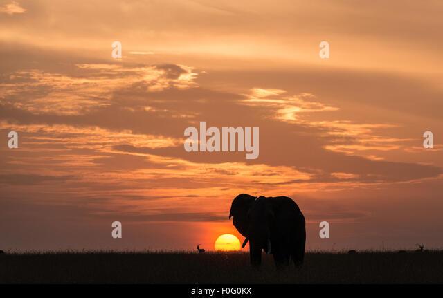 Erwachsenen afrikanischen Elefanten im Morgengrauen Mara North Conservancy Kenia Afrika Stockbild