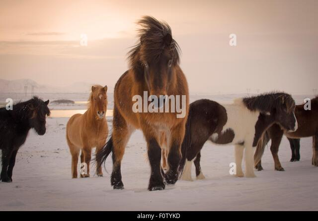 Wildpferde, South Coast, Island Stockbild