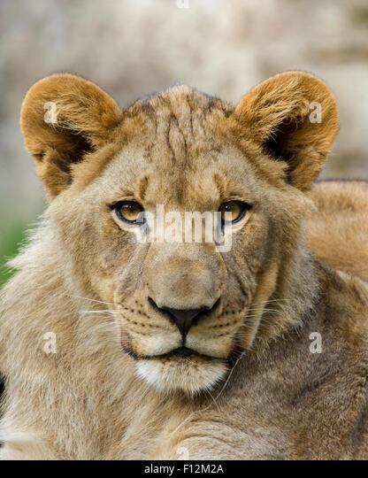 Ein Portrait eines jungen Löwen etwa 1 Jahr alt. Stockbild