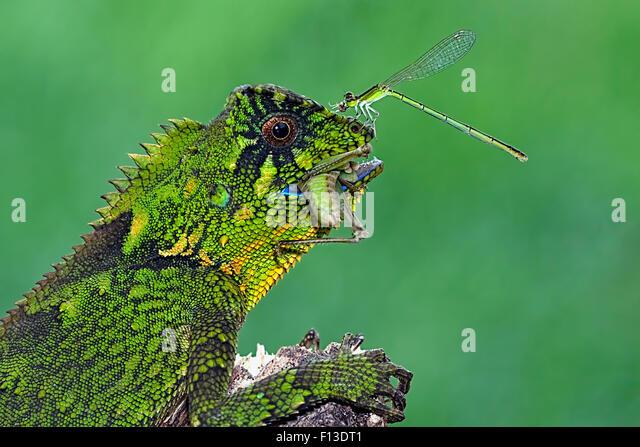 Libelle sitzt auf der Nase eine Fütterung Chamäleon Stockbild