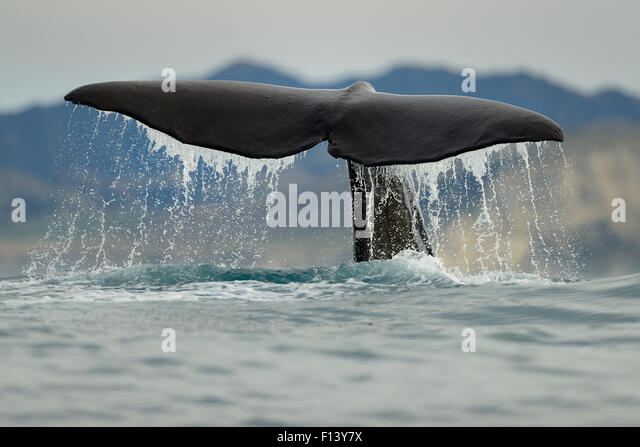 Pottwal (Physeter Macrocephalus) Rute Fluke über Wasser beim Tauchgang, Kaikoura, Neuseeland, Juli, gefährdete Stockbild