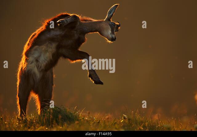 Gämse (Rupicapra Rupicapra) springen, Vogesen, Frankreich. Melvita Natur Bilder Awards Wettbewerb 2014 ernannt. Stockbild