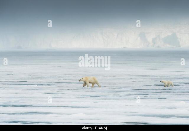 Eisbär (Ursus Maritimus) mit Cub vor Gletscher, Spitzbergen, Svalbard, Norwegen, Juli. Stockbild