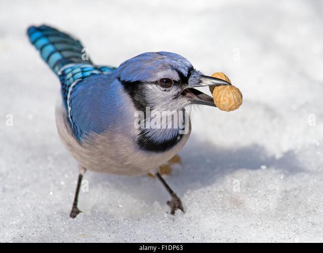Blue Jay im Schnee mit Erdnuss Stockbild