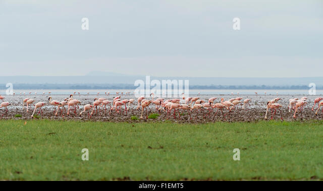 Flamingos-Lake Manyara-Tansania Stockbild