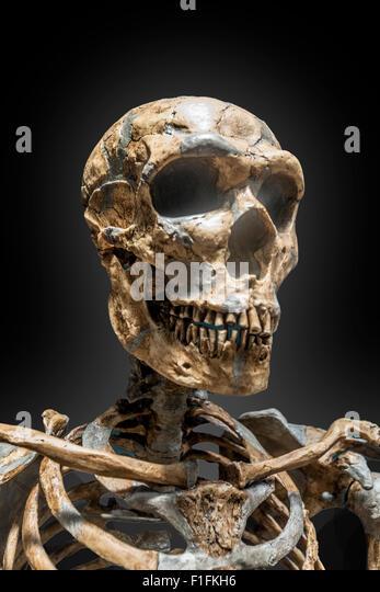 Eine Skelette Rekonstruktion des Neandertalers klopfte auf einem schwarzen Hintergrund. Stockbild
