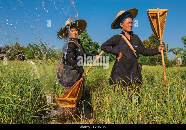 Myanmar (Burma), Shan state, Pao Stamm, Kakku, manuelle Bewässerung von Feldinhalten Knoblauch Stockbild