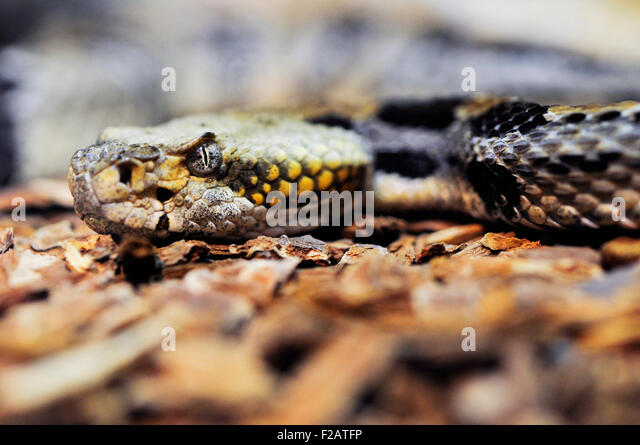 Giftige Klapperschlange Stockbild