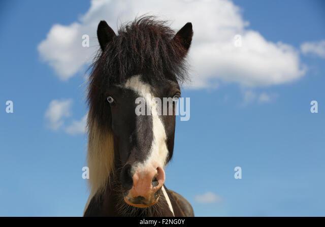 Neugierige junge isländische Pferd, Pony (Equus Przewalskii f. Caballus), blaue Augen, Porträt, Niedersachsen, Stockbild