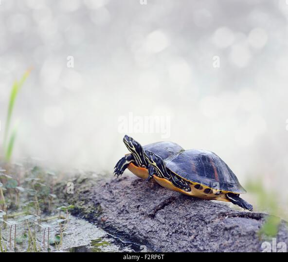 Florida Cooter Schildkröten auf einem Baumstamm Stockbild