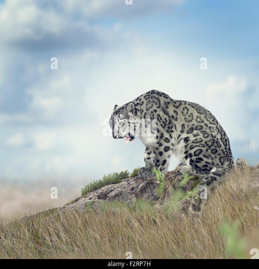 Snow Leopard auf dem Felsen sitzend Stockbild