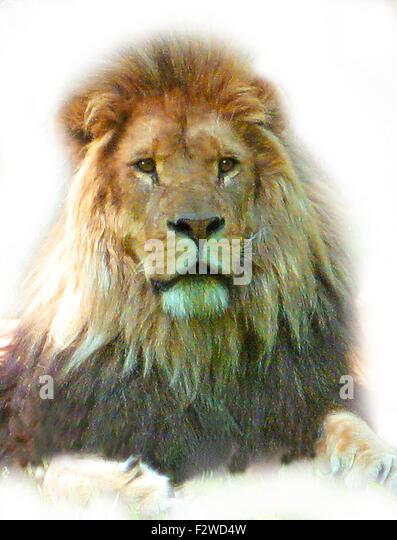 Löwenkopf Darstellung der männlichen Löwen Gesicht Stockbild