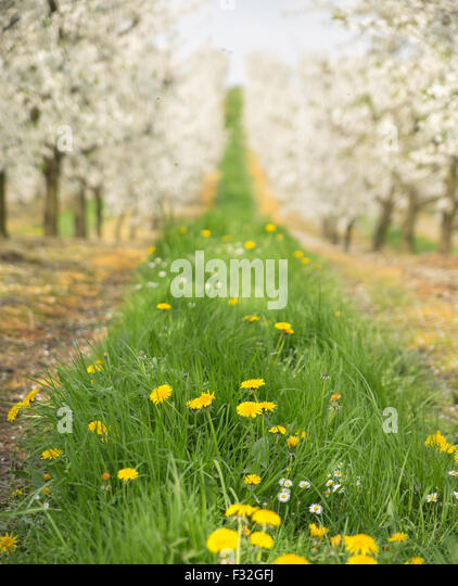 Wunderschöne Natur im Frühling Kirsche Obstgarten Stockbild