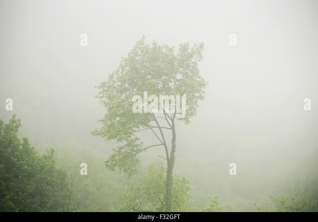 Bild den Baum in der dichten Fogg zu präsentieren Stockbild