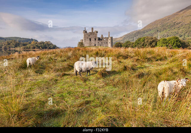 Scottish Blackface Rams in Kilchurn Castle, Argyll and Bute, Scotland, UK. Stockbild