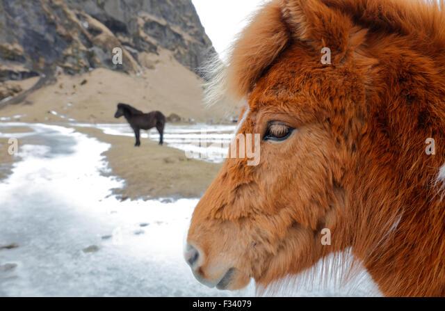 Pferde, Island Stockbild