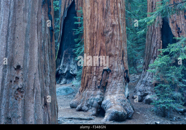 gigantischen Sequoia Bäumen im Sequoia Nationalpark, Kalifornien, USA Stockbild