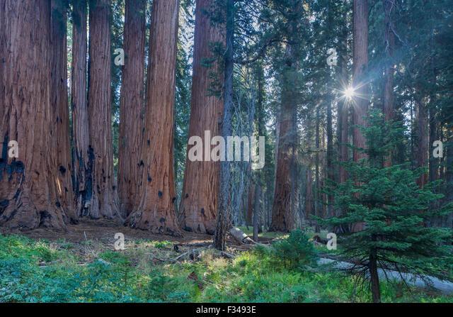 der Senat Gruppe von gigantischen Sequoia Bäumen auf dem Congress Trail im Sequoia Nationalpark, Kalifornien, Stockbild