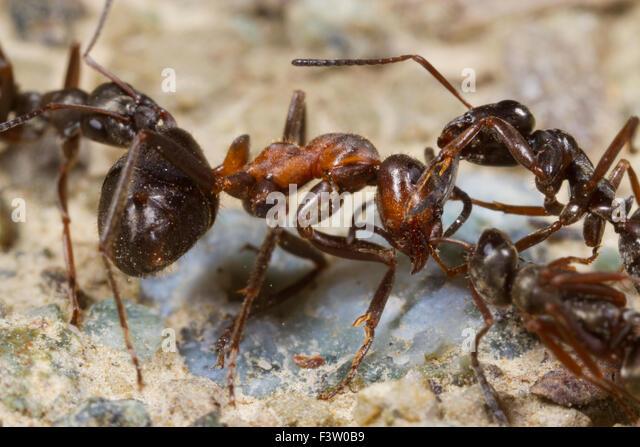 Ameise Formica Lemani Erwachsene Arbeitnehmer einen behaarte Holz Ameise (Formica Lugubis) Arbeiter anzugreifen. Stockbild