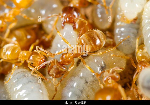 Gelbe Wiese Ameisen (Lasius Flavus) Arbeitnehmer tendenziell Larven in einem Nest. Powys, Wales. April. Stockbild