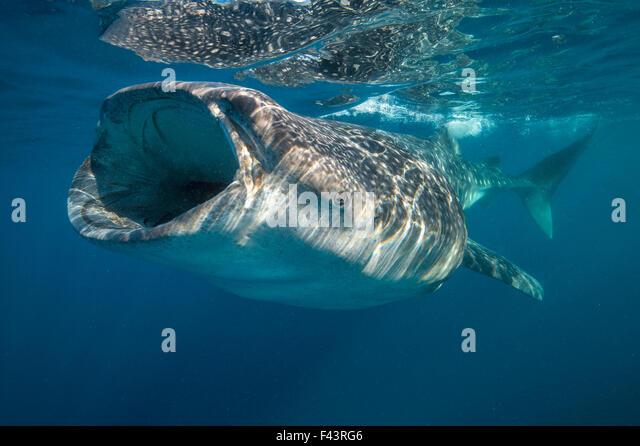 Walhai (Rhincodon Typus) Mund Filter Fütterung an der Oberfläche, Quintana Roo, Halbinsel Yucatan, Mexiko, Stockbild