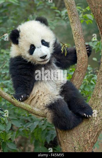 Großer Panda (Ailuropoda Melanoleuca) Cub Kletterbaum. Chengdu, China. In Gefangenschaft. Stockbild