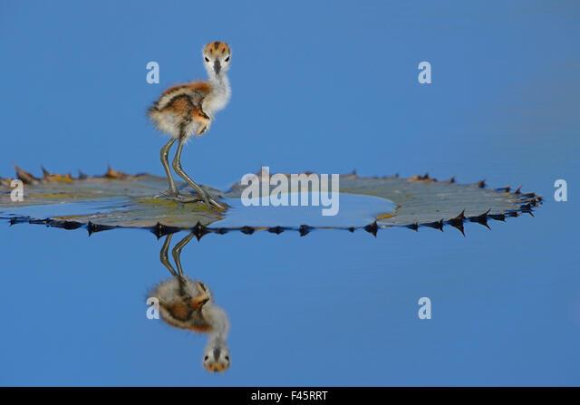 Afrikanische Blatthühnchen (Actophilornis Africana) Küken, eines Tages, auf Blatt, Chobe River, Botswana, Stockbild