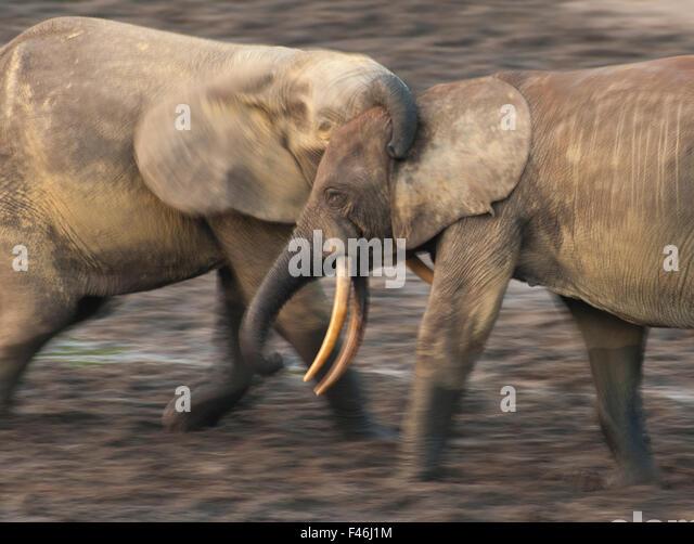 African Forest Elefant (Loxodonta Africana Cyclotis) zwei Bullen sparring, Wettbewerb um den Zugang zu wertvollen Stockbild