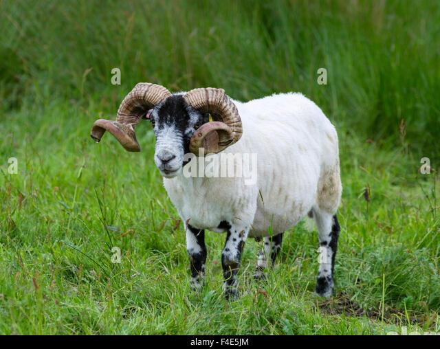 Cheviot Ram Pure Bred Wicklow Cheviot Ram Lamb Nrfor Sale